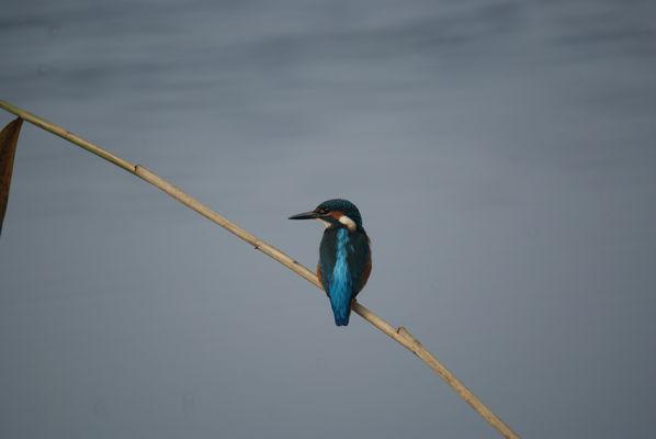 Der fliegende Edelstein des Spreewaldes; Foto: Frank Kuba