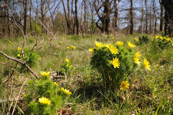 Gelbe Pracht des Frühlings-Adonisröschens, Foto: Kai Heinemann