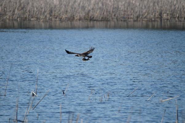 Fischadler auf Beutefang; Foto: Frank Kuba