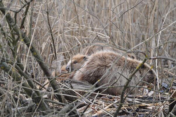 Moorfrösche zur Paarungszeit, Foto: Naturwacht