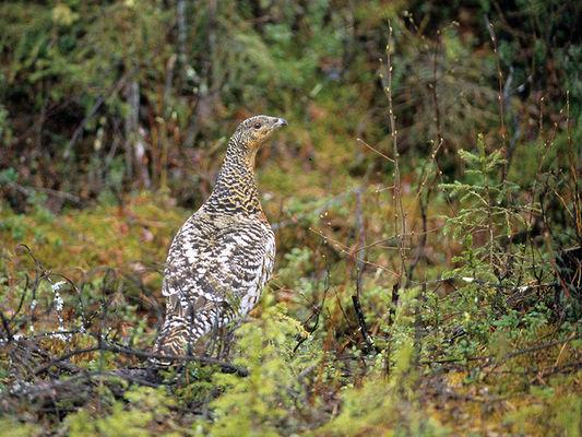 Auerhuhn zwischen den Heidelbeeren, Foto: Gernot Engler