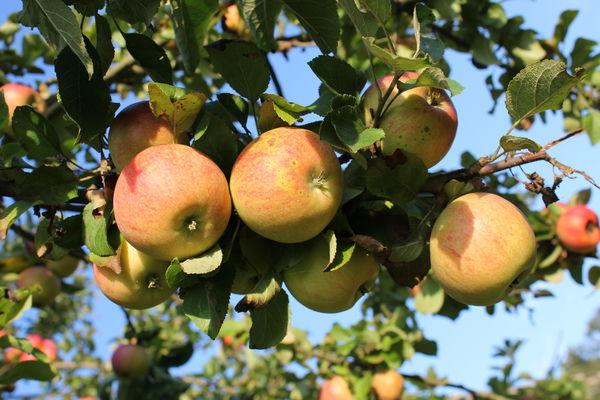 Äpfel , Foto: Alena Lampe