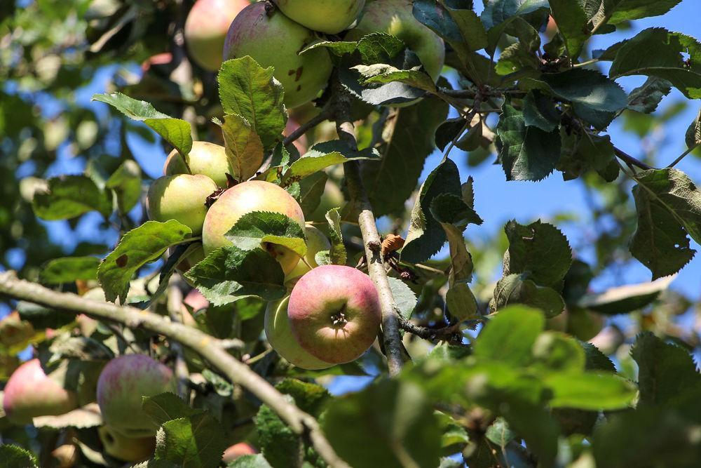 Äpfel von der Streuobstwiese im Freilandmuseum Lehde , Foto: Linke, Lizenz: Museum OSL